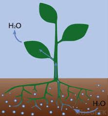 Plant osmosis