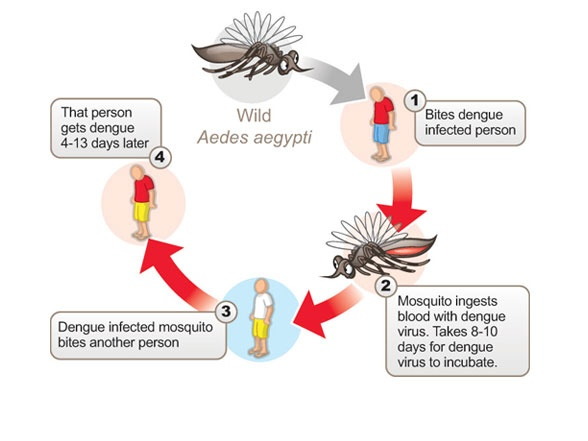 Plant Nectars, Fruit Juices And Other Plant Based Juices Are The Main  Source Of Energy For Male And Female Adult Mosquitos. However The Female  Aedes ...